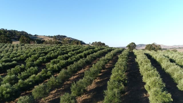 4k drone pov flying over olive grove - farm stock videos & royalty-free footage