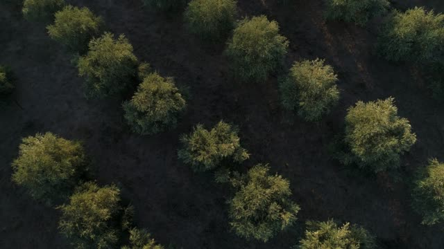 4k drone POV vertically above olive grove