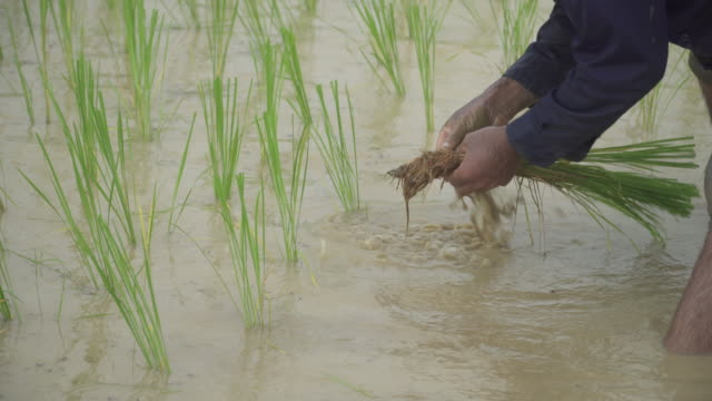 4k, farmer working at rice paddy - rice paddy stock videos & royalty-free footage