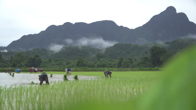 4k, farmer working at rice paddy - rice paddy stock videos and b-roll footage