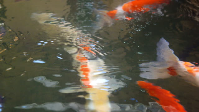 4k: Fish koi