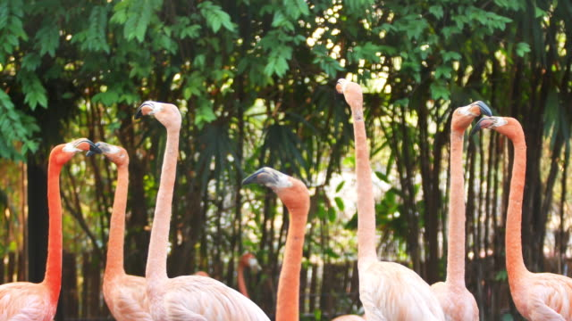 4k flamingos in nature - flamingo bird stock videos & royalty-free footage