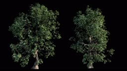 4k footage collection of windy tree for architectural visualization with cutout mask