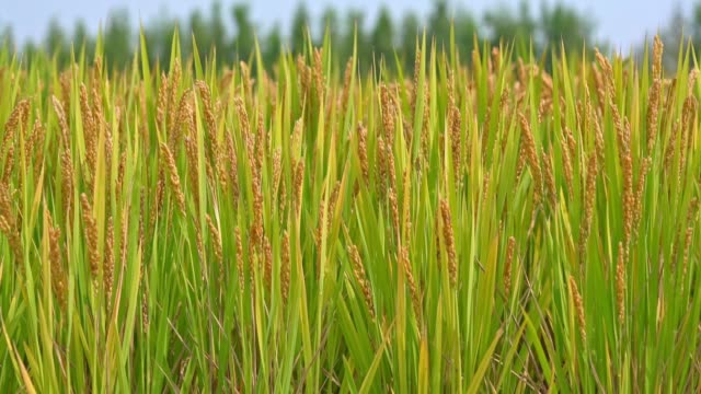 4k footage of asian nature rice field in the afternoon with the sun rays - ripe stock videos & royalty-free footage