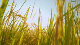 4k footage of asian nature rice field in the evening with the sun rays