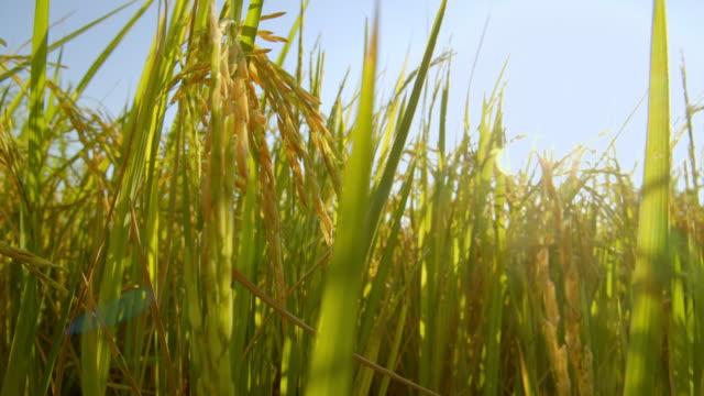 vidéos et rushes de images 4k de champ de riz de nature asiatique dans la soirée avec les rayons du soleil - chapeau de paille
