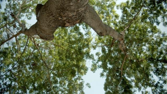 vidéos et rushes de images 4k d'un grand arbre à partir d'un tir d'angle inférieur - herbivore