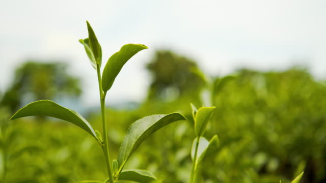 4k footage of fresh organic green tea leaves - lush stock videos & royalty-free footage