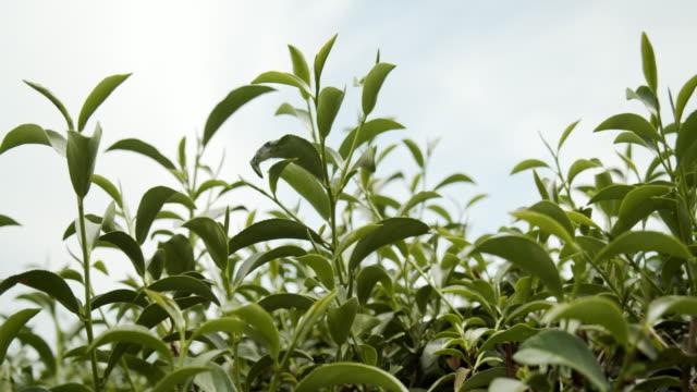 4k footage of fresh organic green tea leaves - dried tea leaves stock videos & royalty-free footage