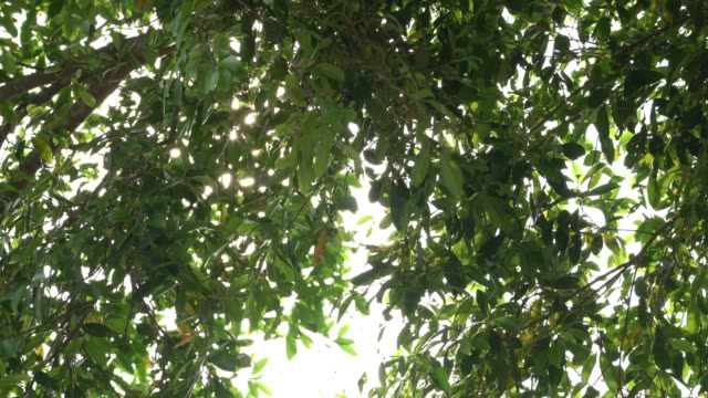 4k footage of Green leaf from big tree while the sun reflection on it .natural concept