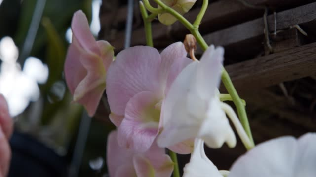4k footage of pink orchids flower - orchid stock videos & royalty-free footage