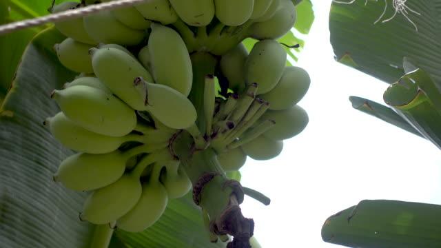 vídeos de stock, filmes e b-roll de 4 cenas k de banana crua na bananeira - banana de são tomé