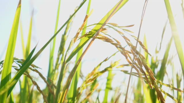 vídeos de stock e filmes b-roll de 4k footage of thai jasmine rice field in the evening - arroz cereal