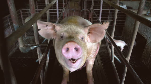 4k footage scene close up face and nose of a pig breathing in factory pig farm, livestock and domestic animal concept - animal head stock videos & royalty-free footage