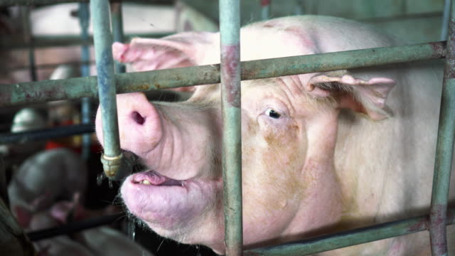 4 k 映像シーンをクローズ アップ工場養豚場、畜産、国内の動物概念で水道の蛇口から水を飲む豚の顔 - 突き出た鼻点の映像素材/bロール