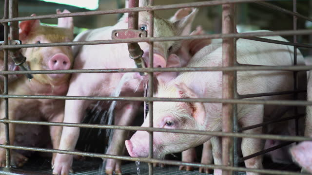 4k footage scene close up face of pigs drinking water from tap in factory pig farm, livestock and domestic animal concept - stable stock videos & royalty-free footage