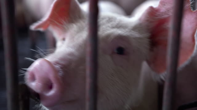 4k footage scene close up nose of young pigs in factory pig farm, livestock and domestic animal concept - animal nose stock videos & royalty-free footage