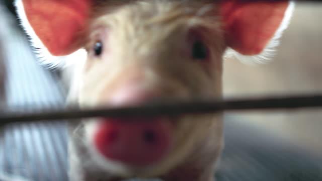 4 k film scen som närbild hos unga grisar i fabriken gris gård, boskap och djur inrikesflyget - griskulting bildbanksvideor och videomaterial från bakom kulisserna