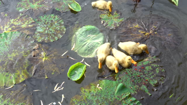4k footage scene group of yellow duckling swimming and moving in lotus pond, behaviour and animal life concept - pianta acquatica video stock e b–roll