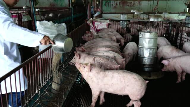 アジア獣医食品工場養豚場、畜産、国内の動物概念の豚の餌の 4 k 映像シーン - 豊富点の映像素材/bロール