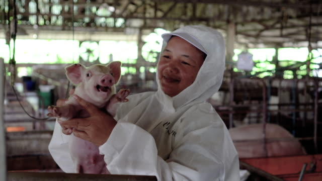 4k footage scene of asian veterinarian take care and holding a baby pig in factory pig farm, livestock and domestic animal concept - maiale ungulato video stock e b–roll
