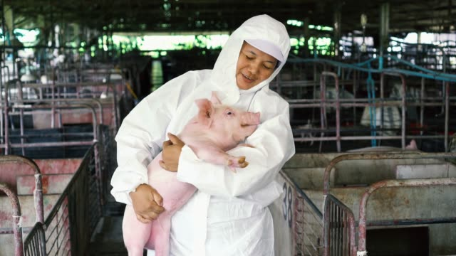 4k footage scene of asian veterinarian take care and holding a pig in factory pig farm, livestock and domestic animal concept - pig stock videos & royalty-free footage