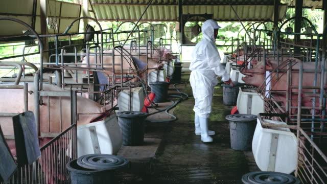 4 k beelden scène van Aziatische werknemer wandelen en voeding voedsel voor varkens in de fabriek varken boerderij, vee en binnenlandse dierlijke concept