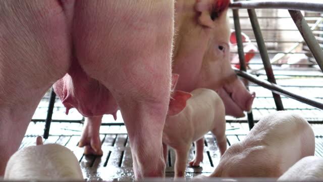 vídeos de stock, filmes e b-roll de cena de filmagem k 4 dos leitões, bebê mamando de porco de sua mãe na fazenda de porcos de fábrica, o gado e o conceito de animal doméstico - processo vegetal