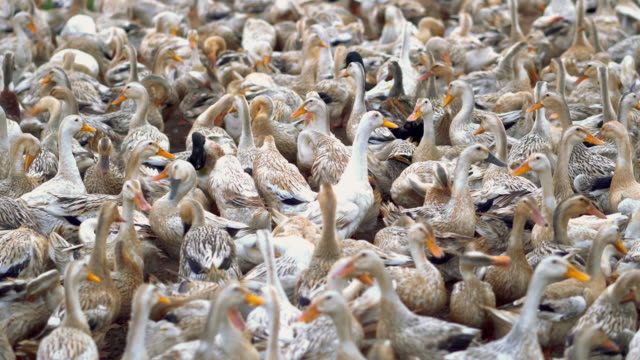 4k footage scene of huge flock of ducks walking and moving flapping in farm, behaviour and domestic animal concept - animal behaviour stock videos & royalty-free footage