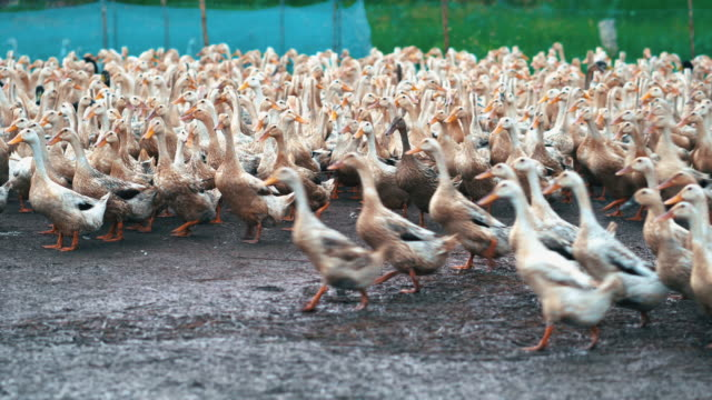 4k footage scene of huge flock of ducks walking and moving flapping in farm, behaviour and domestic animal concept - anatra uccello acquatico video stock e b–roll