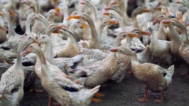 4k footage scene of huge flock of ducks walking confuse and moving flapping in farm, behaviour and domestic animal concept - animal behaviour stock videos & royalty-free footage