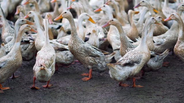 4k footage scene of huge flock of ducks walking confuse and moving flapping in farm, behaviour and domestic animal concept - anatra uccello acquatico video stock e b–roll