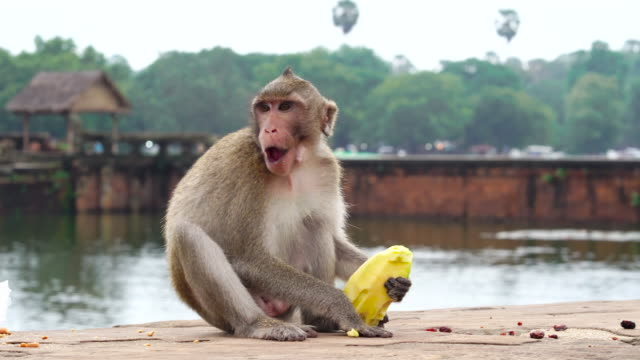 4k footage scene of monkey in bayon temple at angkor wat in cambodia - cambodia stock videos and b-roll footage