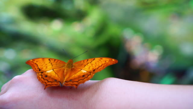 4k footage scene of orange butterfly flapping wings on woman's back hand in the forest, animal behavior and natural concept - female animal stock videos & royalty-free footage