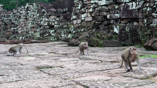 4k footage scene of three monkey walking in bayon temple at angkor thom, cambodia, animal behaviour and ancient concept - cambodia stock videos and b-roll footage