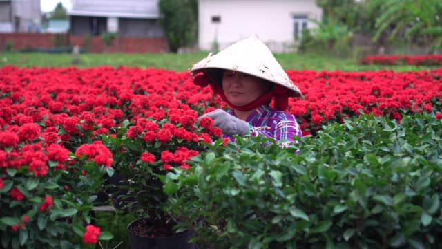 4k footage scene of vietnamese gardener pruning red flowers garden in sadec, dong thap province, vietnam,traditional and culture concept - pruning stock videos & royalty-free footage