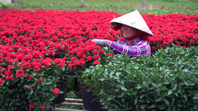 4k footage scene of vietnamese gardener pruning red flowers garden in sadec, dong thap province, vietnam,traditional and culture concept - vietnam stock videos & royalty-free footage