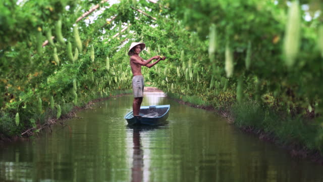 4k footage scene of Vietnamese old man farmer Keeping the yield by standing over the tradition boat on the lake in bitter gourd garden in vietnam style, An phu, An Giang province, Vietnam, Vegetable garden and farm concept