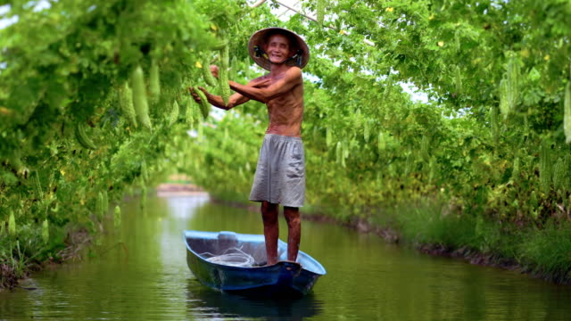 4k footage scene of vietnamese old man farmer keeping the yield by standing over the tradition boat on the lake in bitter gourd garden in vietnam style, an phu, an giang province, vietnam, vegetable garden and farm concept - zucca legenaria video stock e b–roll