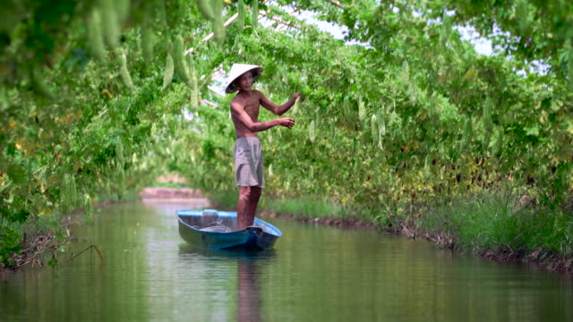 4k footage scene of vietnamese old man farmer keeping the yield by standing over the tradition boat on the lake in bitter gourd garden in vietnam style, an phu, an giang province, vietnam, vegetable garden and farm concept - gourd stock videos and b-roll footage