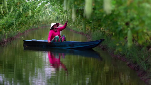 4 escena de secuencias k de agricultora vietnamita barco para mantener el rendimiento por embarcación tradicional sobre el lago en jardín de calabaza amarga en estilo vietnam, phu, provincia de An Giang, Vietnam, vegetal jardín y concepto de granja