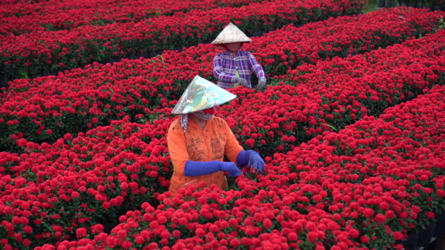 4k footage scene top view of three vietnamese gardeners pruning red flowers garden in sadec, dong thap province, vietnam,traditional and culture concept - pruning stock videos & royalty-free footage