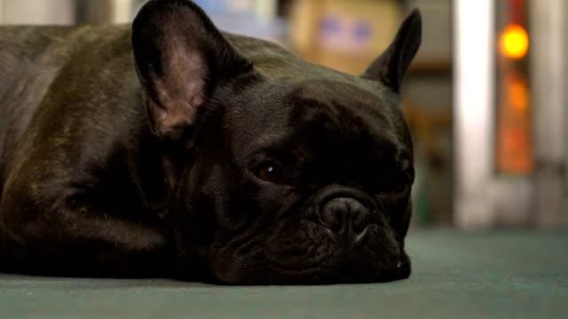 4k french bulldog sleeping on the floor , low angle.