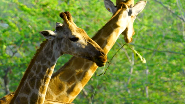 4k group of giraffe eating leaves and walking home - animal family stock videos & royalty-free footage