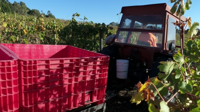 4k harvest at vineyard, heathcote, australia - crop stock videos & royalty-free footage