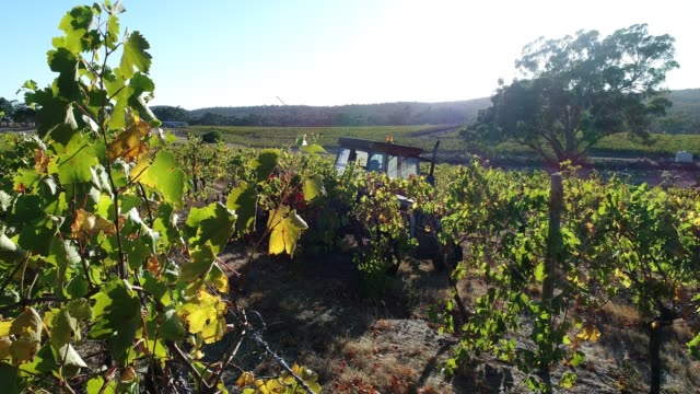 4k harvest at vineyard, heathcote, australia - bright stock videos & royalty-free footage