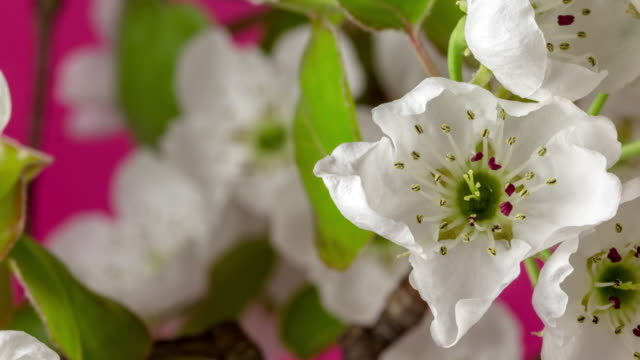4k horisontal timelapse of an pear flower blossom bloom rotating and grow on a black background. blooming flower of pyrus. vertical time lapse in 9:16 ratio mobile phone and social media ready. - temperate flower stock videos & royalty-free footage