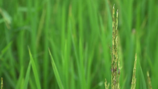 4k, insect perching on the rice. - perching stock videos & royalty-free footage