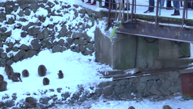 4k: Japanese Monkey Eating in Snow