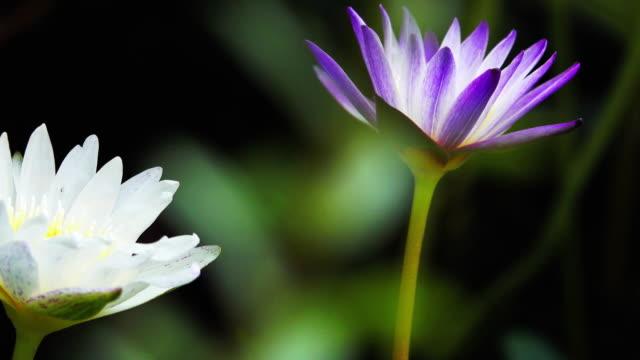 4k: lotus leaf blooming
